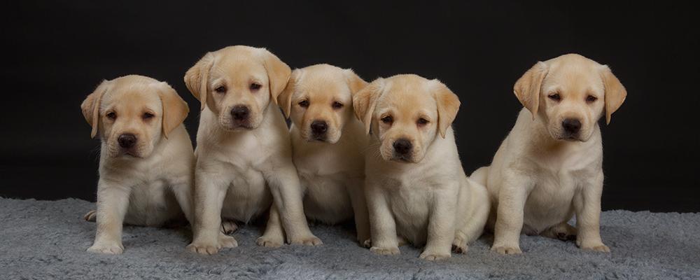 Andycap Kennel – Labrador Retriever