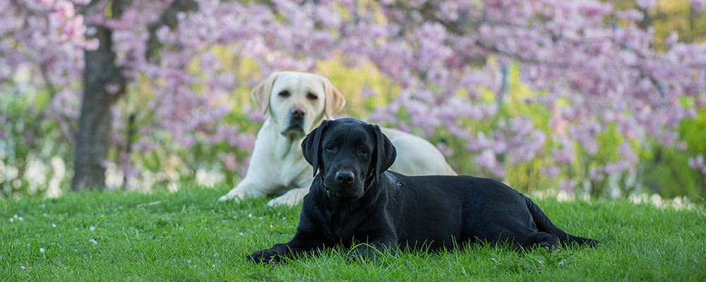 Andycap Kennel – Labrador Retriever